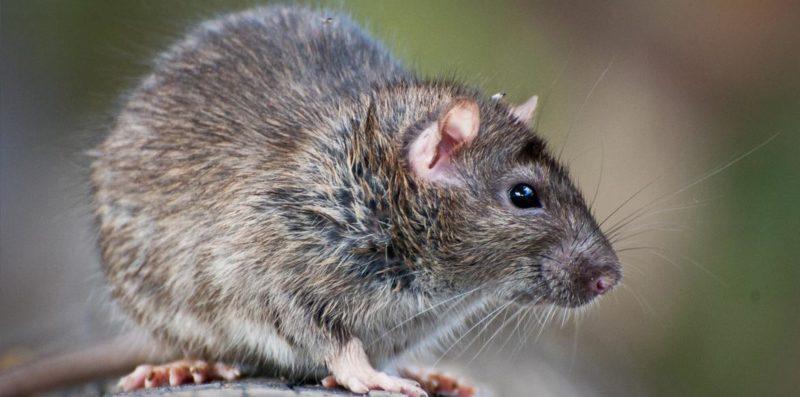 cara mengusir tikus ampuh bahan alami